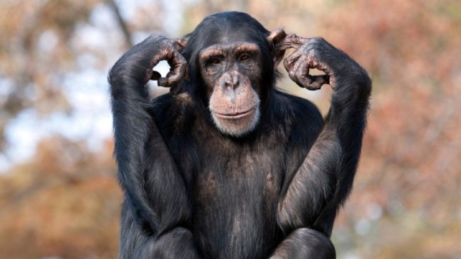 chimpanzee with fingers in its ears.