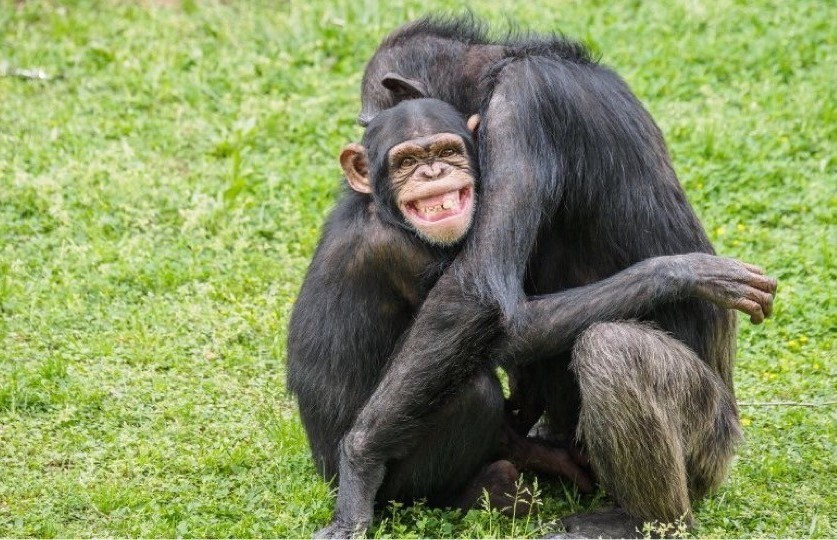 Two chimpanzees hugging.